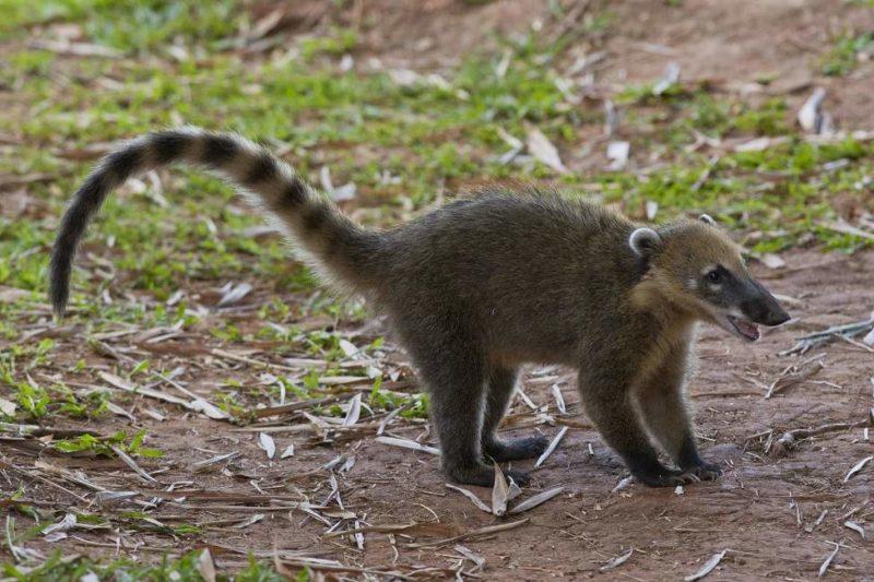 Balade dans la jungle d'Iguaçu - Brésil   Au Tigre Vanillé
