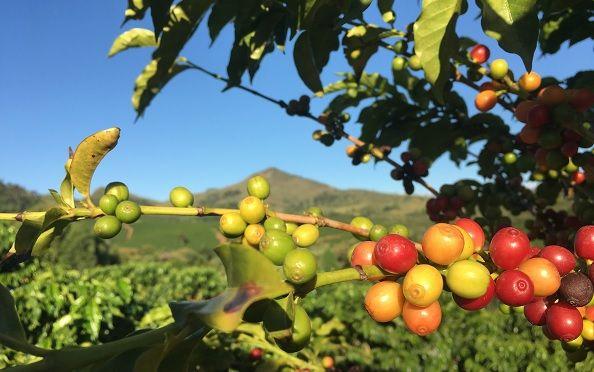 Plantation de café dans le Minas Gerais - Brésil   Au Tigre Vanillé