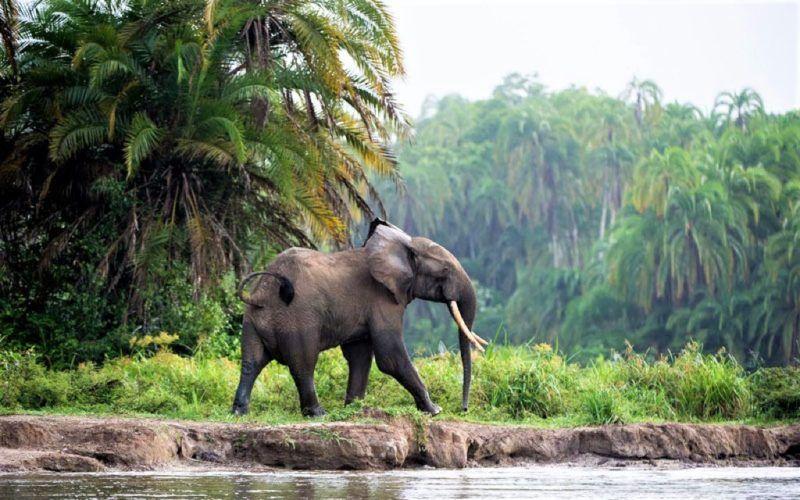 Safari dans la réserve de Dzanga - Congo   Au Tigre Vanillé