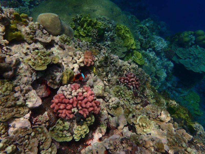 Corail au large de l'île de Tanna - Vanuatu | Au Tigre Vanillé