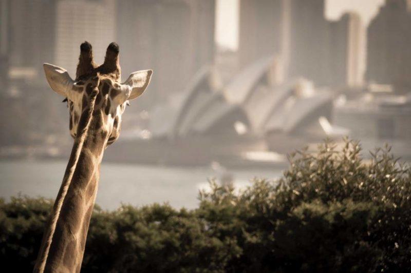 Croisière d'Harbour Bridge au zoo de Taronga à Sydney - Australie | Au Tigre Vanillé