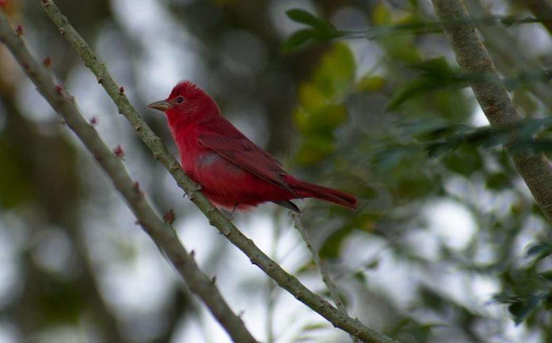 Sortie ornithologique dans le district de Toledo - Belize | Au Tigre Vanillé