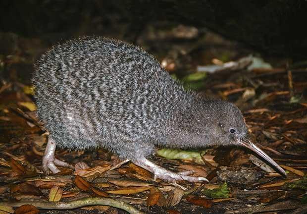 Observation des kiwis sur Kapiti Island - Nouvelle-Zélande | Au Tigre Vanillé